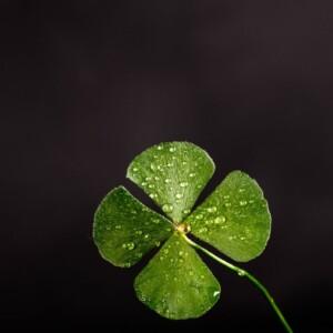 clover dew leaf 705310